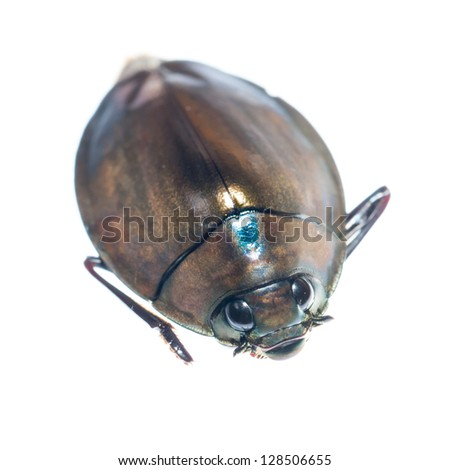 insect whirligig beetle isolated on white - stock photoWhirligig Beetle Drawing