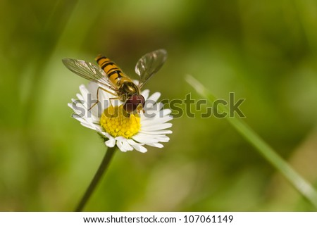 Insects Marmelade (Episyrphus balteatus) on flower daisy (Bellis) - stock photo