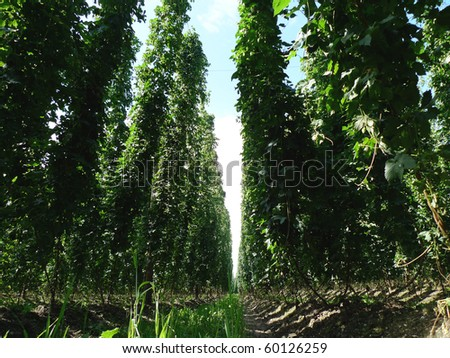 Inside a field of large and ready to be harvested hops. Hops is needed for the production of beer. - stock photo