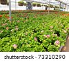 Inside a large greenhouse full of geraniums. - stock photo