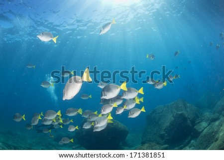 Inside a  rabbit fish school in the deep blue sea background - stock photo