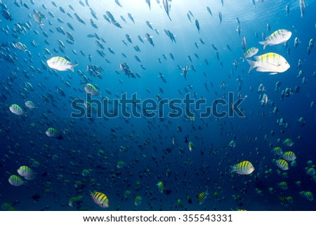 inside a Sergeant fish bait ball underwater on the deep blue ocean background - stock photo