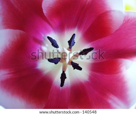 Inside A Tulip - stock photo