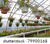 Inside commercial horticulture greenhouse of garden center selling bedding plants and flowers. - stock photo