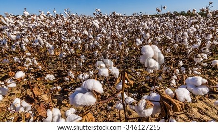inside of a cotton field in south carolina usa - stock photo