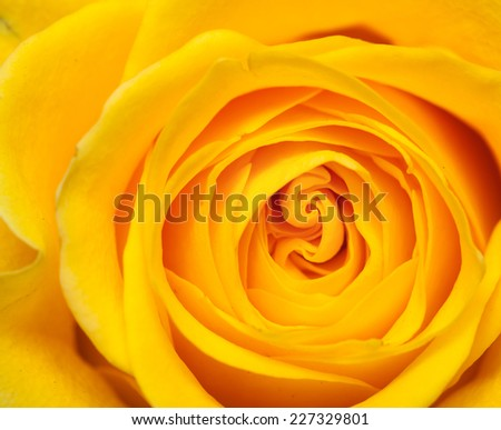 inside of a yellow rose natural background