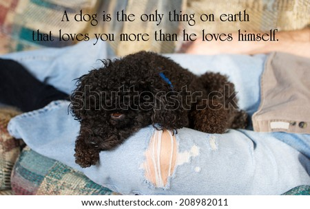 Inspirational quote on a dog's love by Josh Billings with an adorable black miniature poodle cuddled up in his companion's lap. - stock photo