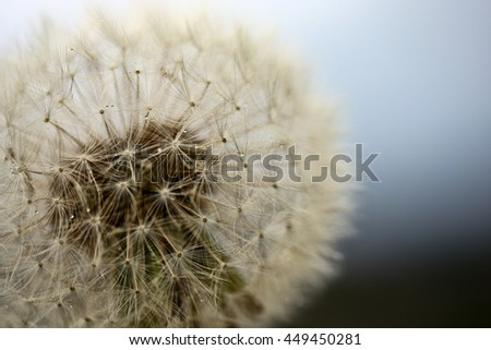 Intact dandelion in close up.  - stock photo