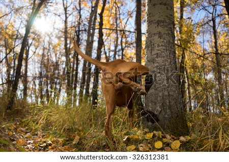 intact male dog peeing on tree in forest - stock photo