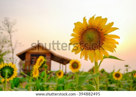 Integrated Farming System,the future agriculture for food of our world with rows of sunflowers and corn field together. - stock photo