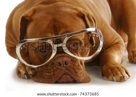 intelligent dog - dogue de bordeaux wearing large glasses laying down on white background - stock photo