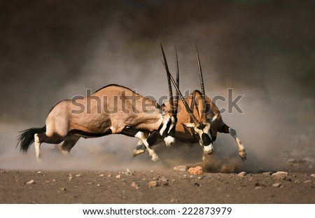 Intense fight between two male Gemsbok on dusty plains of Etosha - stock photo