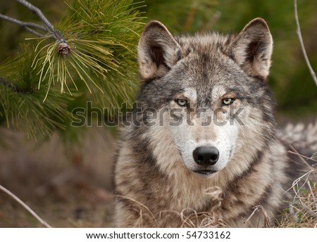 Intense Timber Wolf (Canis lupus) Sits Under Pine - captive animal - stock photo