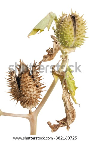 intensely poisonous thornapple (Datura stramonium) on white