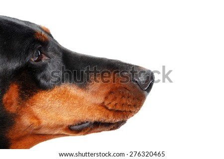 Intent glance. Close up of muzzle of dog in profile that on isolated white background - stock photo