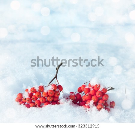 inter natural background with bunches of rowan in the snow - stock photo