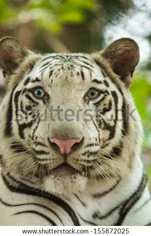 Interest in eyes of a young white bengal tiger