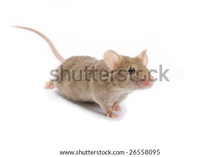 Interested mouse looking on you. - stock photo