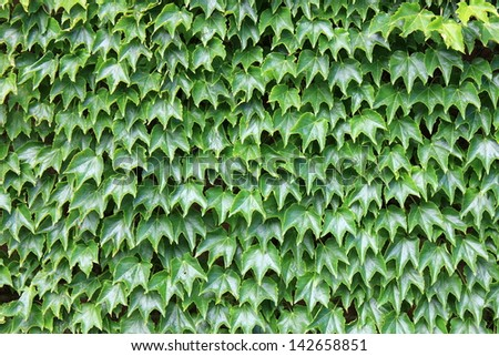 Interesting backdrop of lush,healthy green ivy leaves covering entire wall of brick building. - stock photo