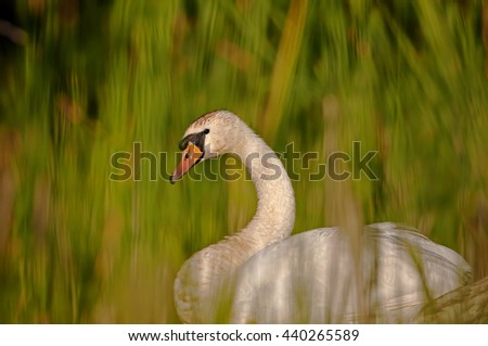 Interesting, beautiful, delicate image rapprochement mute swan (Cygnus olor) among the reeds on the pond, on a sunny summer day. An interesting illustration or cover. Horizontal. - stock photo