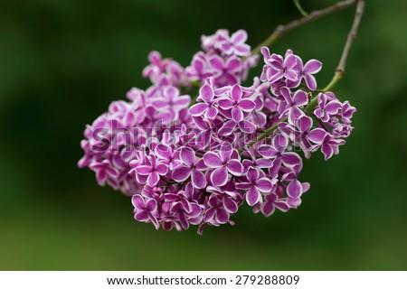 Interesting kind of Purple Syringa (Lilac) with white edging - stock photo