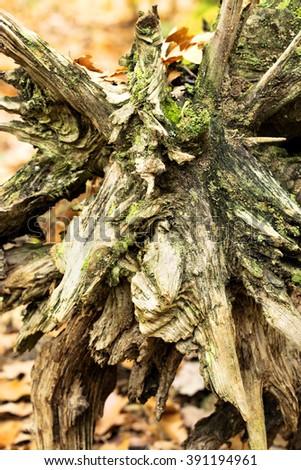 Interesting old tree ( selective focus ) - stock photo