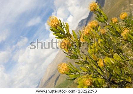 Interesting view of a Pincushion - part of the Protea family indigenous to South Africa. - stock photo