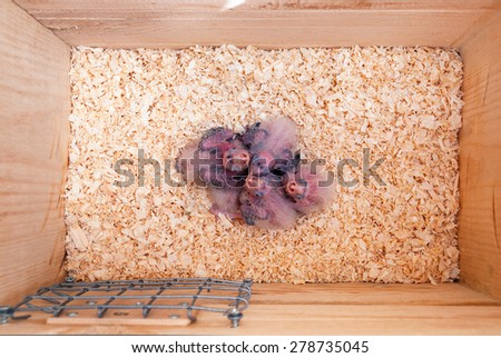 Interior of a cockatiel nest box with five chicks - stock photo