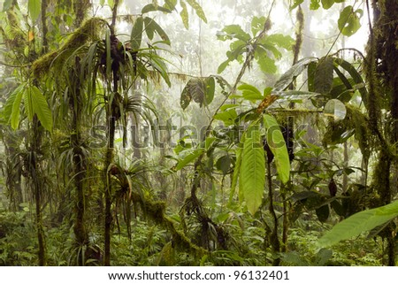 Interior of humid cloudforest with mist blowing through, on the coastal range in western Ecuador - stock photo