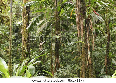 Interior of primary tropical rainforest in Ecuador - stock photo