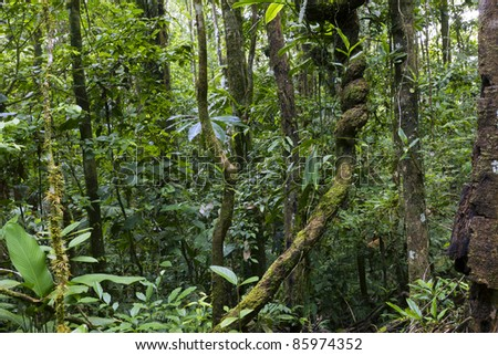 Interior of tropical rainforest in Ecuador with knotted liana - stock photo