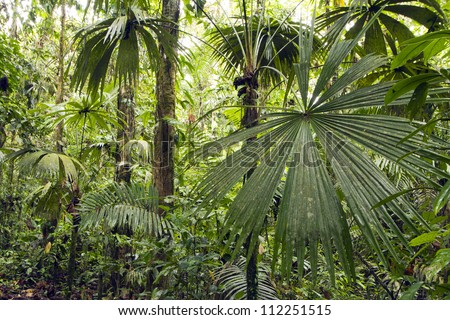 Interior of tropical rainforest in Yasuni National Park, Ecuador with palm tree in foreground - stock photo