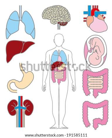 Internal organs of the human - stock photo