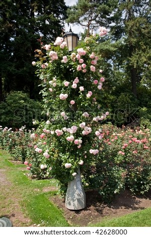 International Rose Test Garden is a rose garden in Washington Park in Portland, Oregon, United States. There are over 7,000 rose plants of approximately 550 varieties. - stock photo