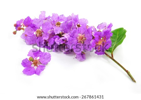 Inthanin, Queen's flower, Pride of India - stock photo