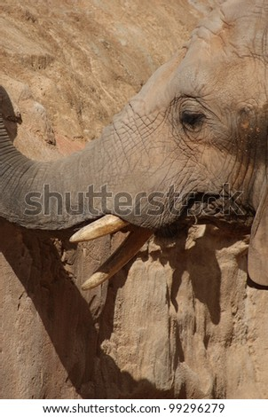 Intimate imagery within a herd of African Bush Elephant - Loxodonta africana
