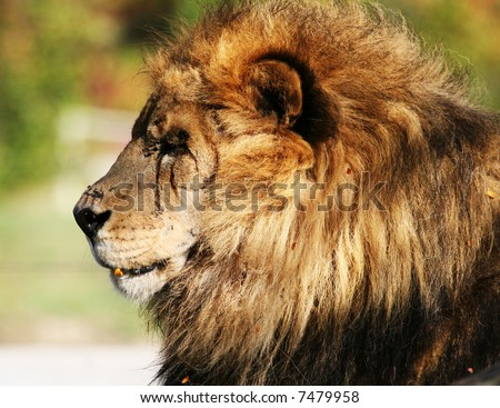 Intimate portrait of a battleworn lion