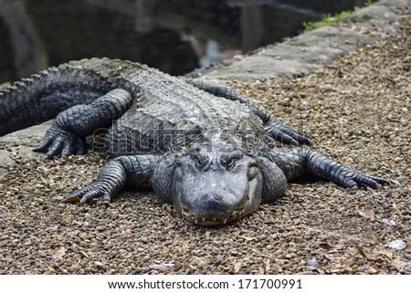 intimidating alligator - stock photo