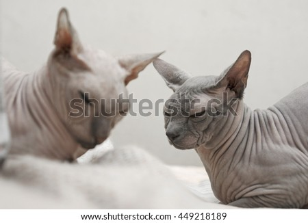 Introduction of two cats Sphinx breed. Two naked cat lying on the bed. Sphinx cat color Blue Point and the cat breed Don Sphinx color cream - stock photo