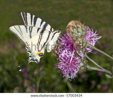 Iphiclides podalirius / scarce swallowtail - stock photo