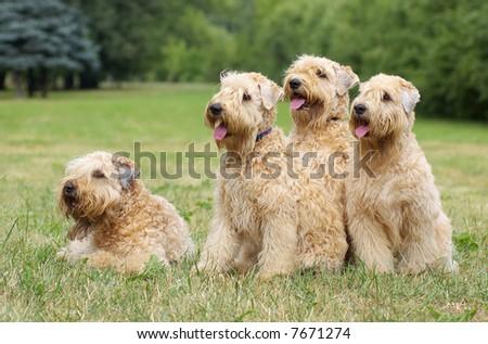 Ireland soft coated wheaten terriers -summer group portrait - stock photo