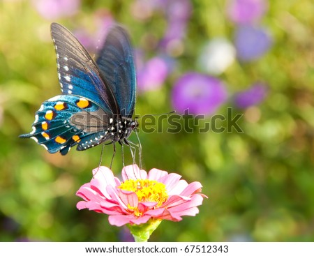 Iridescent blue Pipevine Swallowtail feeding on a delicate pink flower in summer garden - stock photo