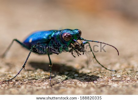 Iridescent blue tiger beetle on a warm background