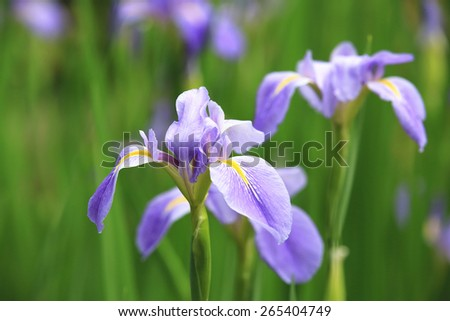 Iris,beautiful purple with yellow flowers in full bloom in the garden in spring,closeup - stock photo