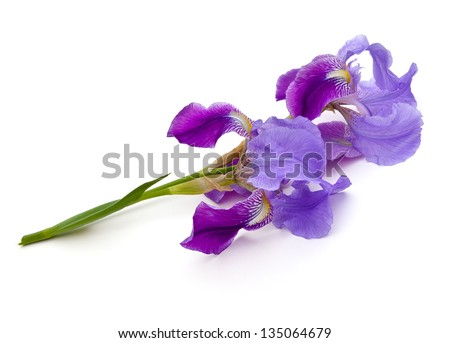 Iris blooms (Iridaceae) on a white background - stock photo