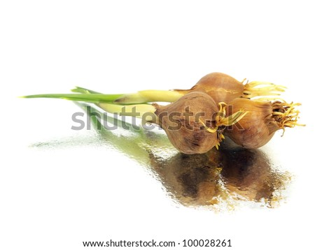 iris bulbs on a white backgrounds with water drops - stock photo