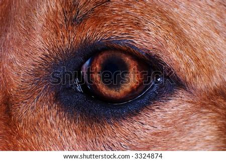 iris detail on brown fur,dog eye in macro - stock photo