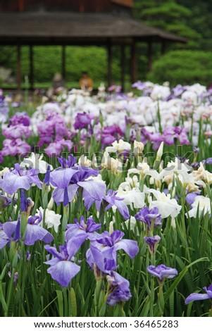 Japanese Iris Flower Stock Images Royalty Free Images
