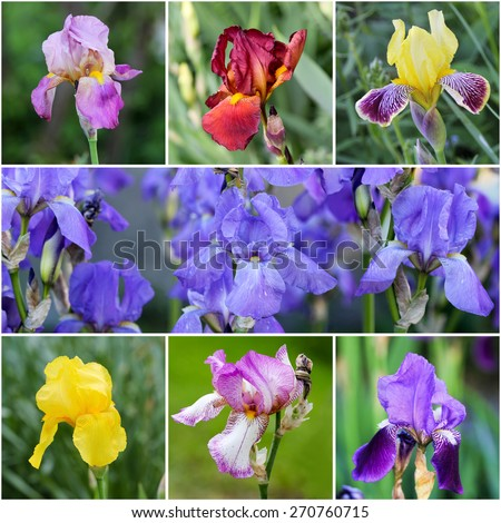 Iris flower collage with different colors - stock photo