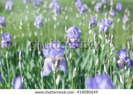 Iris flower field  - stock photo